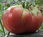 Помидор (томат) фото